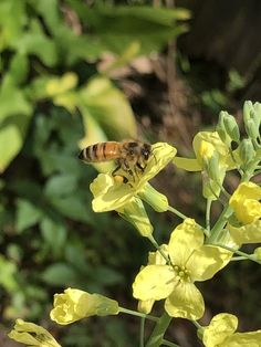 By letting some of your garden go to bloom, it is very beneficial for the bees to collect their pollen. Pictured here is a honey bee on one of my broccoli plants