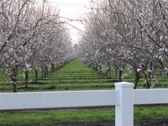 Almond orchard in bloom, northern CA http://www.californiaoutdoorproperties.com/images/listing161photo12.jpg