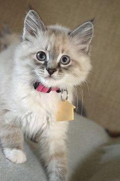 lynx point mitted kitten. - http://www.shop2impress.co.uk/petworld/petblog/lynx-point-mitted-kitten/
