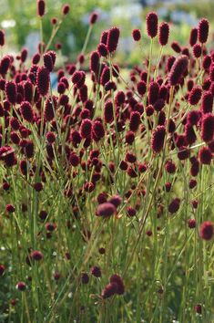 Sanguisorba officinalis 'Tanna' 70 cm jul-ago 108 uds