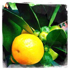 Mini Orange Tree :-))