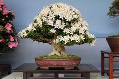 Stunning Azalea Bonsai, owner unknown but photo by Hiroyuki Suzuki at Ueno park in Tokyo. #bonsai #azalea #ueno #flowers