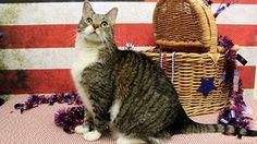 "Bootsie is an adopted Tabby - Brown Cat in Methuen, MA. Thanks to the Ivan Smith Adoption Challenge, My Adoption Fee is waived  July 1-July 14  as part of our ""Declare Your Love' Adoptathon for Senior..."
