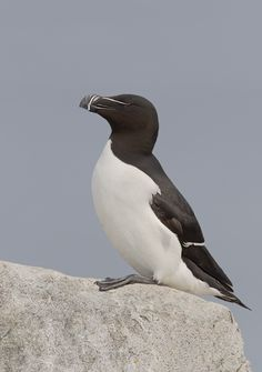 rhamphotheca:  emuwren: Razorbill (Alca torda) is a large auk. Their breeding habitat is islands, rocky shores and cliffs on the northern Atlantic coasts.  Including Greenland