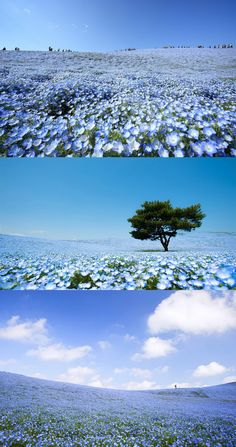Each year in april in Japan you can enjoy not only Hanami but also 4.5 Million Baby Blue Eye flowers in Hitachi Seaside Park.