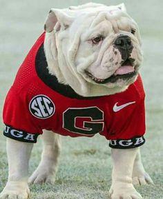 Bulldog Wallpaper, Football Team, Football Season, Georgia Bulldogs Football, Bulldog Mascot, Georgia Girls, Cute Bulldogs, French Bulldog, English Bulldogs