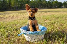 The breeder Florida Pups has AKC teacup and toy puppies in Florida, our puppy are toy, small, healthy, home raised pups.