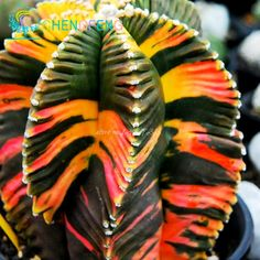 Gratis Verzending 100 + Aztekium valdezii Zeer Ongebruikelijke Cactus Verse Zaden Tuin Decoratie Bonsai bloem planten zaad * voor thuis pot