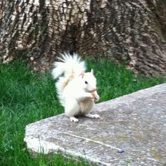 Western Kentucky University white squirrel