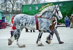The Majesty and Power of the Shire Horse represented in Pictures