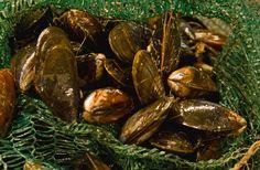 Fresh loch Nevis Mussels for www.knoydarthouse.co.uk