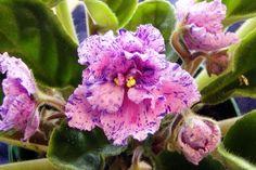 Image result for African violet