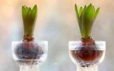Holiday Garden Gifts: How To Force Bulbs, It's Easy!   The Garden Glove