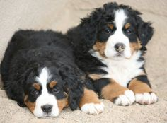 two of the Bernese Mountain Dog puppies