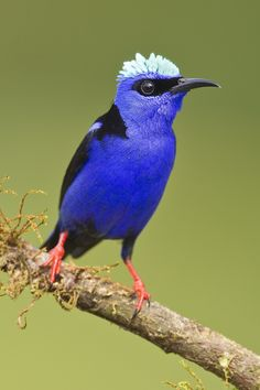 I just love the crest and mask on this male Red-legged Honeycreeper -
