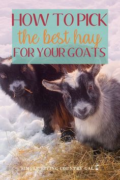 Not all hay is created equal so find out the very best hay to feed goats so you get the most milk and have the healthiest herd on your homestead. Types Of Goats, Types Of Farming, Feeding Goats, Raising Goats, Female Goat, Goat Shelter, Nubian Goat, Goat House