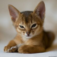 Abyssinian kitty says you will not confiscate this feather. (Peter Hasselbom, of course)