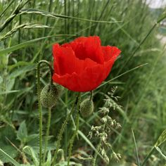 Blütezeit des Klatschmohns ist Mai bis Juni. Juni, Plants, Gossip, Poppy, Nice Asses, Plant, Planets