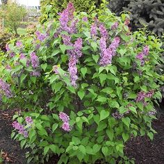 Tiny Dancer Lilac- part of a small number of lilac plants that can grow in Texas Growing Conditions: Full sun, Partial sun Size: 4–5 feet tall, 3–4 feet wide
