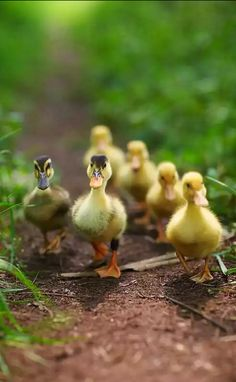 Ducklings. ❣Julianne McPeters❣ no pin limits