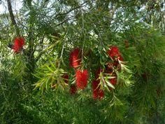 Callistemon Edna Walling Scarlet Willow Callistemon salignus x C. viminalis Weeping plants enhance any landscape. Cold Climate Gardening, Australian Native Garden, Trees And Shrubs, Native Plants, Scarlet, Nativity, Garden Design, Landscape, Green