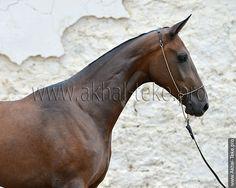 Akhal-teke horses for sale - Aksarana(Kepderi - Alkhisa)