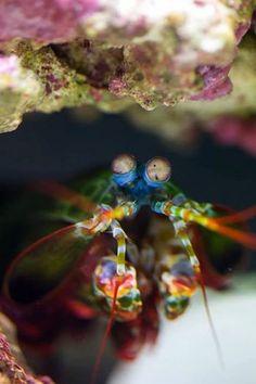 peacock #mantis #shrimp