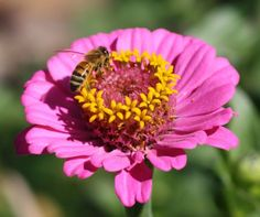 A honeybee on a zinnia flower. Zinnia is a genus of 20 species of annual and perennial plants of the family Asteraceae. They are native to scrub and dry grassland in an area stretching from the Southwestern United States to South America, with a centre of diversity in Mexico.