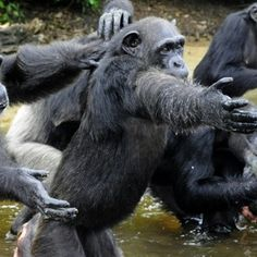 Chimpanzees used by The New York Blood Centre for testing and released on Monkey Island in Liberia face starvation as the island has no fresh water or food and the US body has withdrawn funding for their care. (Photo/AFP).