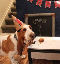Cooper's 1st Birthday! Basset Hound, Dog in a bow tie, Dog birthday party, Cute puppy, Silly dog
