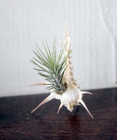 Airplant and Shell Plant