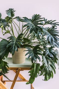 Houseplants for Better Sleep Caring For Your Philodendron Xanadu On Soonafternoon House Plants Decor, Plant Decor, Green Plants, Tropical Plants, Decoration Plante, Plants Are Friends, Low Maintenance Plants, Interior Plants, Urban Gardening