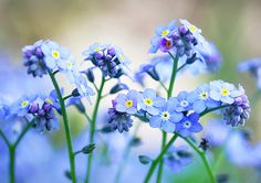 Nigel Burkitt Photography: Forget-me-nots (exclusive to Getty Images)