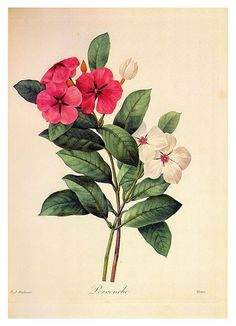 REDOUTE CATHARANTHUS ROSEUS Vintage by VintageInclination on Etsy