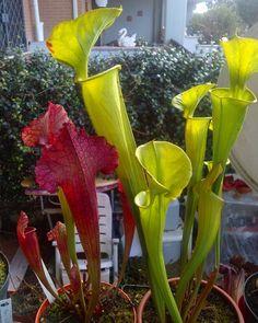 Sarracenia flava var. tibbburtina and sarracenia juthatip soper #Sarracenia#flava#tibbburtina#sarraceniaflava#sarraceniatibbburtina#juthatip#soper#juthatipsoper#sarraceniajuthatipsoper#pitcherplants#pitcherplant#plantswithbite#plantascarnivoras#plantporn#plantsofinstagram#plant#plantnerd#plantofinstagram#carnivorous#carnivorousplants#carnivores#carnivorousplant#carnivore#carnivoroustagram#carnivorousofinstagram#carnivora by 19fabio_87