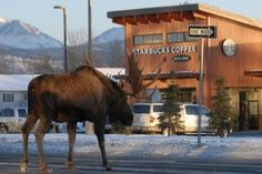 """Moose headed for Starbucks in Anchorage - """"It's hard for a moose in the morning - you two-leggeds aren't the only ones who need a cuppa to get started in the mornings! Moose Head, Moose Art, Moose Pictures, North To Alaska, Alaska Adventures, Northern Exposure, Deer Family, Anchorage Alaska, Wild Creatures"""