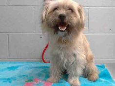 #A475701 Release date 11/19 I am a male, cream and black Terrier mix. Shelter staff think I am about 4 years old. I have been at the shelter since Nov 12, 2014.   City of San Bernardino Animal Control-Shelter. https://www.facebook.com/photo.php?fbid=10203934703265527&set=a.10203202186593068&type=3&theater