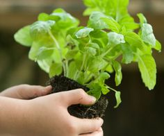 Growing Basil Plants