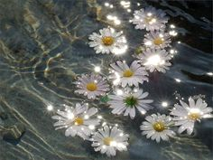 flowers, water, and daisy image Nature Aesthetic, Flower Aesthetic, Purple Aesthetic, Aesthetic Images, Aesthetic Collage, Aesthetic Backgrounds, Aesthetic Iphone Wallpaper, Aesthetic Photo, Aesthetic Wallpapers