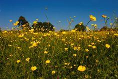 Buttercup Meadows
