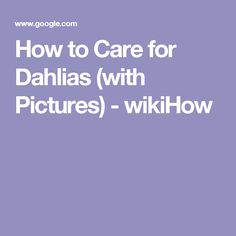 How to Care for Dahlias (with Pictures) - wikiHow