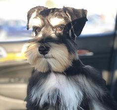 #schnauzer #cutedogs #smartdog #dogbreeds Cute Puppy Breeds, Cute Puppies, Dog Breeds, Cute Dogs, Standard Schnauzer, Mini Schnauzer, Miniature Schnauzer, Dog Pin, Dog Pictures
