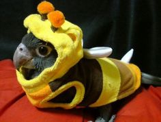 """""""Conure in bee costume."""" This is vasa parrot not a conure Cute Baby Animals, Animals And Pets, Funny Animals, Crazy Animals, Wild Animals, Funny Birds, Cute Birds, Funny Bird Pictures, Funny Parrots"""