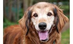 Let's find Sheena her new home!  10 year old Golden Retriever mix, Sheena is available and waiting for her new home at the Bellevue Humane Society.