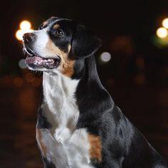 Entlebucher Mountain Dog or Entlebucher City Dog? Mastiff Breeds, Akc Breeds, Entlebucher Mountain Dog, Dog Training Classes, Dog Information, Mountain Dogs, Working Dogs, Dog Cat, Cute Animals