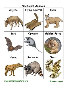 Image of: Aaron Taylor Nocturnal Animal Flashcards Imdb 462 Best Nocturnal Animals Images Preschool Preschool Themes Day