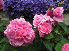 rosa-gertrude-jekyll-against-a-campanula-covered-wall-2.jpg (800×600)