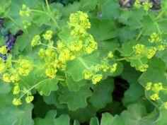 Lady's Mantle - accent green available in the spring.