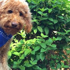 What is a Goldendoodle? Learn why Goldendoodle owners just can't get enough of these loveable doodle dogs and what makes them so special to their people. Happy Doodles, Funny Doodles, You Doodle, Doodle Dog, Goldendoodles, Labradoodle, Funny Dogs, Cute Dogs, Poodle Mix Breeds