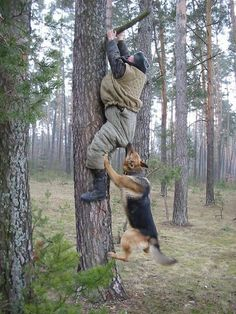 Is schutzhund training the answer? access to Schutzhund training videos, eBooks & audios. Military Working Dogs, Military Dogs, Police Dogs, Animals Images, Funny Animals, Cute Animals, Wild Animals, Animal Attack, War Dogs
